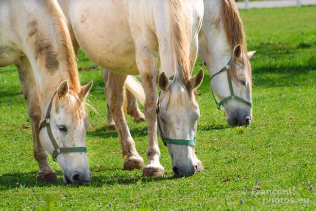 I bianchi Cavalli di Lipica.